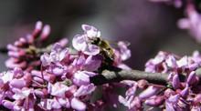 Closeup Of Bee On Redbud Tree Flower