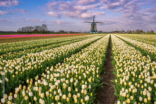 Tulip Flowers Field and Windmill Poster