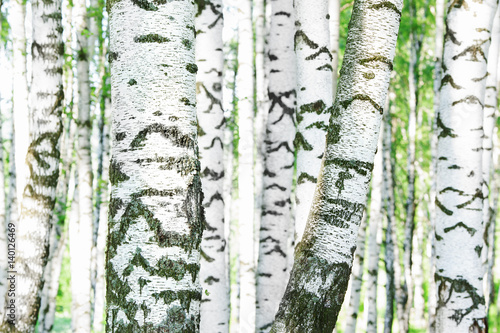 summer-in-sunny-birch-forest