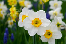White And Yellow Daffodils In ...