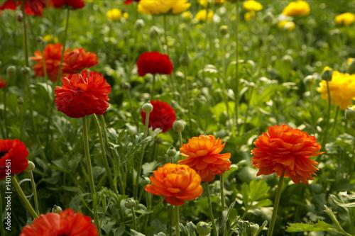 Fototapeta Blooming buttercups obraz na płótnie