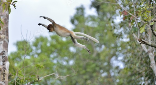 Foto op Canvas Aap Jumping on a tree Proboscis Monkey in the wild green rainforest on Borneo Island. The proboscis monkey (Nasalis larvatus) or long-nosed monkey, known as the bekantan in Indonesia