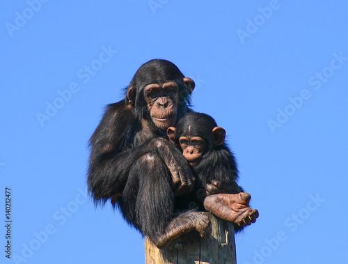 Fényképezés Chimps