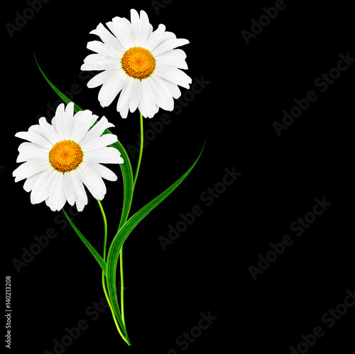 Foto op Canvas Madeliefjes daisies summer flower isolated on black background.