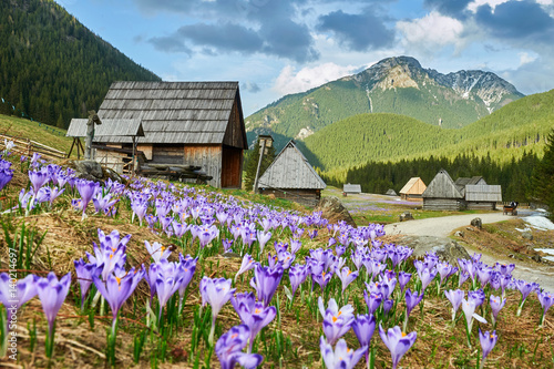 Obraz Tatra Mountains, crocuses in the Chocholowska Valley, Kalatowki Valley - fototapety do salonu