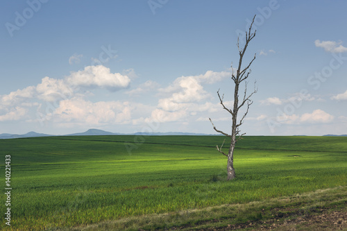Poster Donkergrijs Springtime rural landscape with solitary barren tree in a green wheat field.