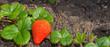 Erdbeere im Beet am blühen - Panorama