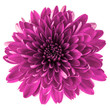 canvas print picture - Lilac chrysanthemum flower isolated on white background