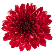 Red Chrysanthemum Flower Isola...