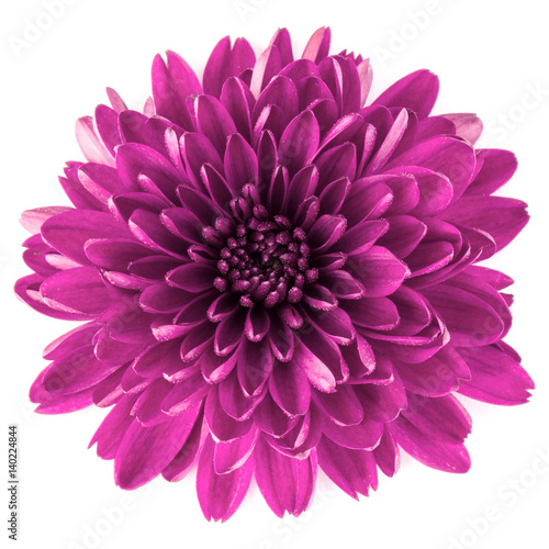 Cuadros en Lienzo Lilac chrysanthemum flower isolated on white background