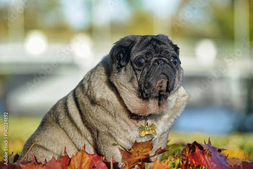 Montage in der Fensternische Huhn Pug dog in the autumn park