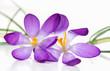 Krokusblüten auf weißem Hintergrund, Makro