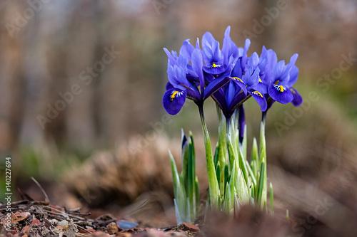 Foto auf AluDibond Iris Iris reticulata