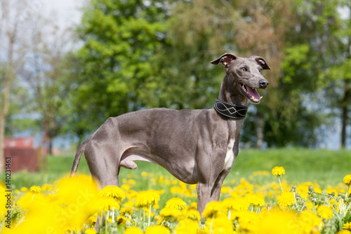 Portrait of nice italian greyhound Fototapet