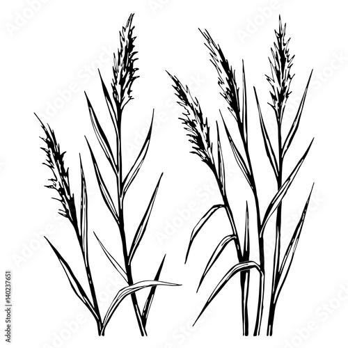 Fototapeta Hand drawn sketch of the reed isolated on white background. obraz na płótnie