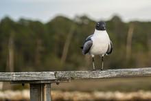 Gull Resting On A Railing Alon...
