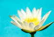 close up White Lotus flower on blue background