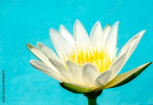 Foto op Canvas Lotusbloem close up White Lotus flower on blue background