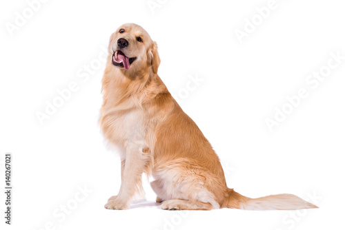 Golden Retriever adult sitting clowning at camera isolated on white Billede på lærred
