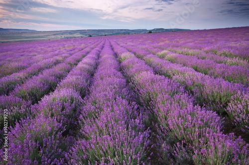 Fototapeta Meadow of lavender. obraz na płótnie