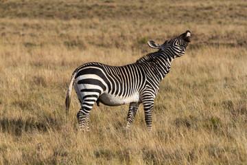 Fototapeta na wymiar Cape Mountain Zebra