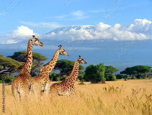Fototapety, obrazy: Three giraffe on Kilimanjaro mount background in National park of Kenya
