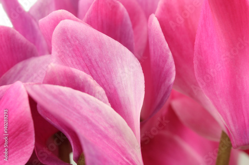 Pink flower buds cyclamen abstract background - 140289293