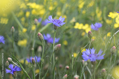 Fototapety, obrazy: Flowers of a cornflower in a rapeseed field close-up