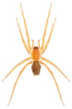 Eratigena Agrestis Hobo Spider Isolated On White Background. Dorsal View Of Funnel Web Spider.