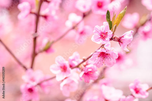 Close up photo of blossom cherry sakura tree