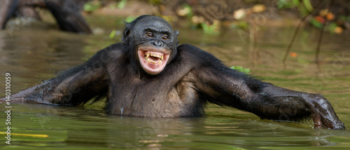 Foto op Plexiglas Aap Smiling Bonobo in the water. Bonobo in the water with pleasure and smiles. Bonobo standing in pond looks for the fruit which fell in water. Bonobo (Pan paniscus). Democratic Republic of Congo. Africa
