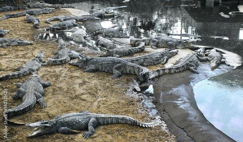 evil crocodiles at the farm