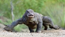 Attack Of A Komodo Dragon. The...