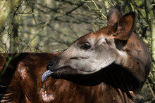 Okapi (Okapia Johnstoni) With Tongue Extended. Giraffid Artiodactyl Mammal Native To Central Africa, Grooming Fur With Long Blue Tongue
