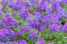 Blooming Blue Flower In The Ga...