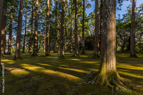 Large and tall pine forest in Obi, Kyushu, Japan Fototapet
