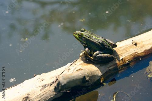Photo Stands Frog Kikker aan het zonnen in het water