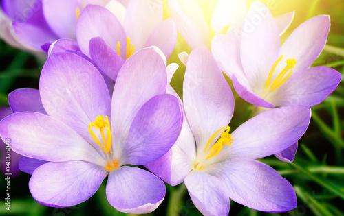 Canvas Prints Crocuses Aufgeblühte lila Krokus Blumen in Nahaufnahme, mit schönem Gegenlicht