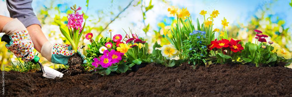 Fototapeta Planting flowers in a garden