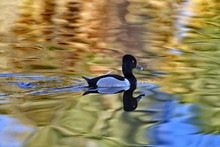 Ring Necked Duck Paddles With ...