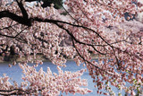 pink cherry blossom in front of spring lake
