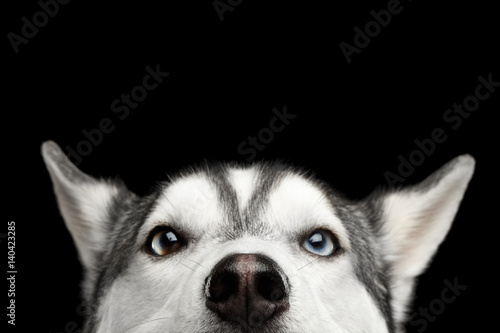 Close-up Head of peeking Siberian Husky Dog with blue eyes on Isolated Black Bac Canvas Print