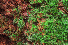 Green Moss Plant On Red Soil Or Rock In The Deep Jungle Or Forest And Plentiful Environment For Nature Background