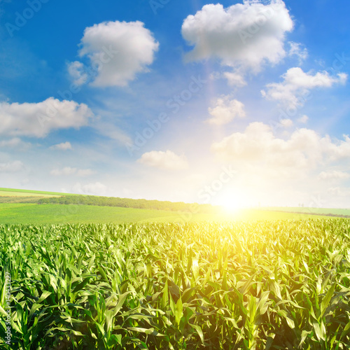 Tuinposter Zwavel geel Green field with corn. Blue cloudy sky. Sunrise on the horizon.
