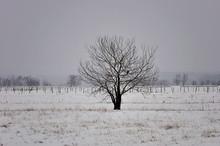Beautiful Lonely Tree In Winter.