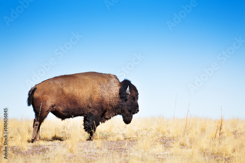 American bison walking across a prairie landscape
