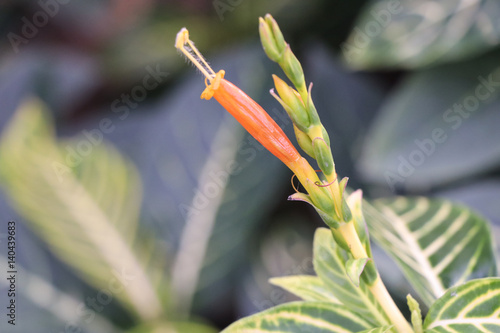 Photo  Zebra plant or Sanchezia speciosa Leonard,Yellow Sanchezia