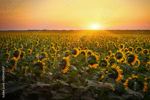 sunflower-fields-during-sunset