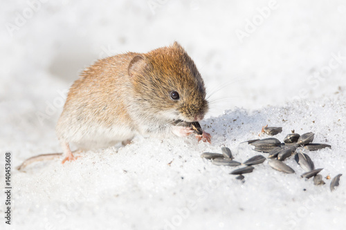 Foto op Plexiglas Arctica mouse in the snow