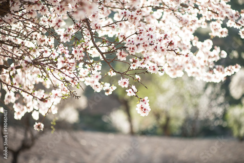 Almond Tree In Blossom Beautiful Pink And White Flowers In An